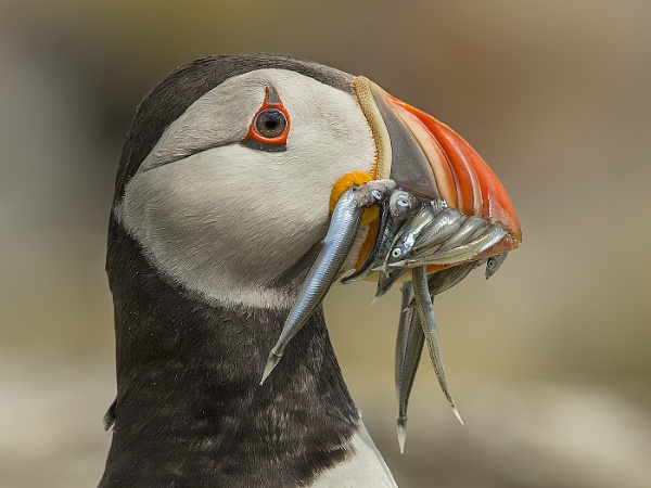 Puffin Close-up by Jamie_MacArthur