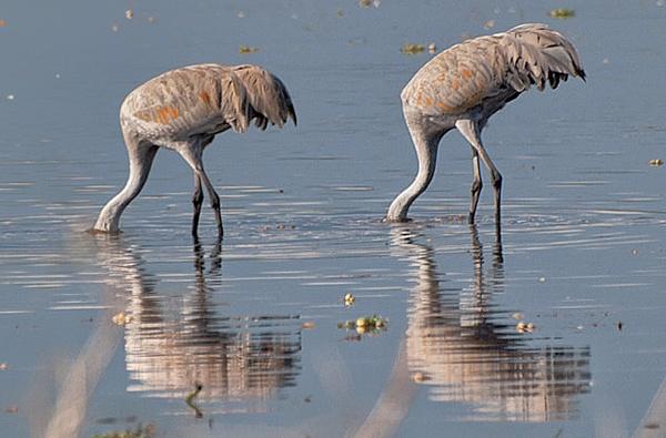 Feeding Sandhill Cranes by jbsaladino
