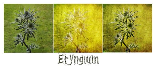 Eryngium Triptych by Irishkate