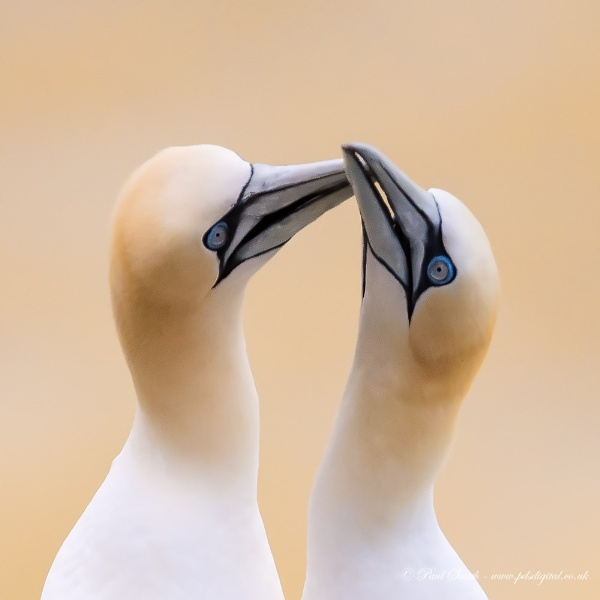 Courting Gannets by pdsdigital