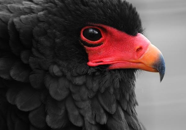 Bateleur Eagle by MartinWait