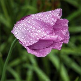 Rainy Day Poppies