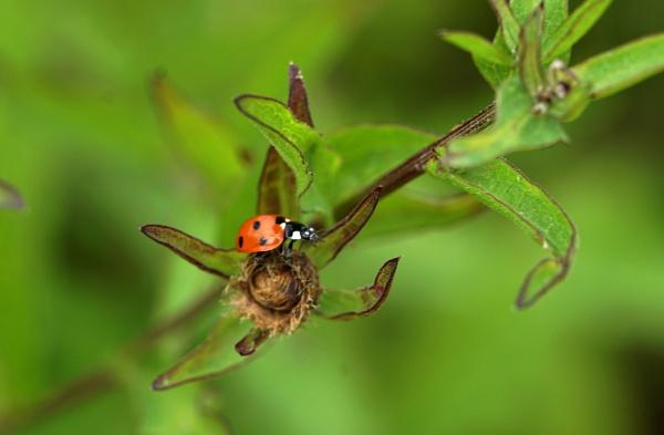 Ladybird in a meadow by georgiepoolie