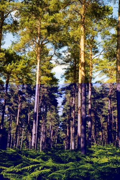 Pine woods feel like Endor by Johnsodav