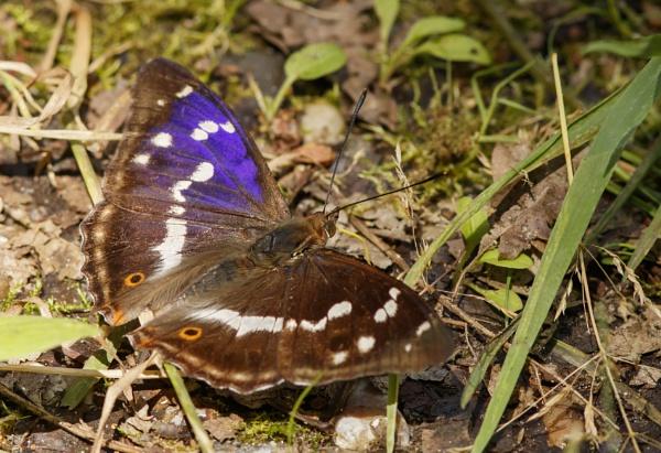 Male Purple Emperor by ali63