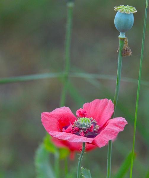 Poppy on  Reserve  shoreline. by tonyguitar