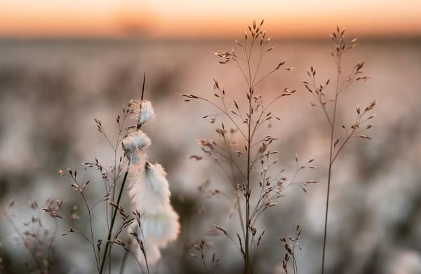Marsh Grass by Trevhas