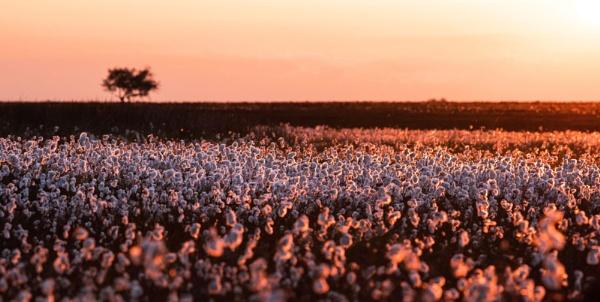 Cotton Carpet by Trevhas