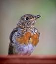 Robin by deavilin