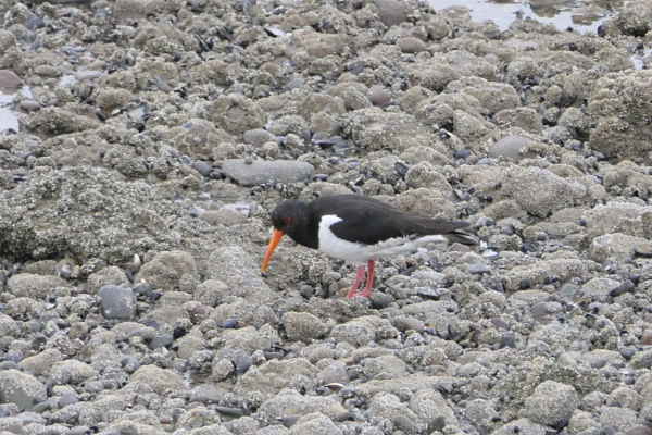Oystercatcher by Ted447