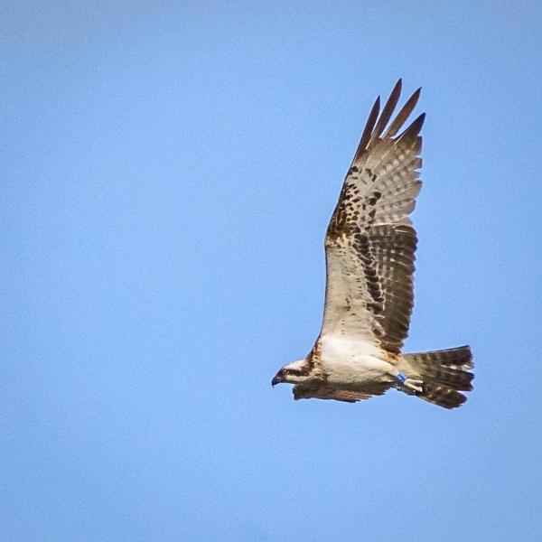 Osprey by billmyl