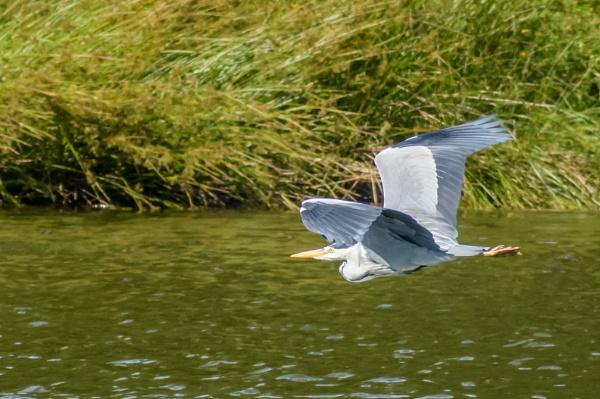 Heron in flight 3 by billmyl