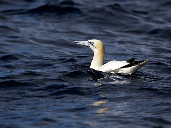 A Hebridean Meandering XII - Gannet in the Minch by hrsimages