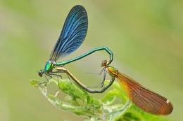 Beautiful Demoiselles-Calopteryx virgo