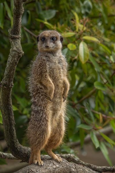 Meerkat at Marwell by sarumboy
