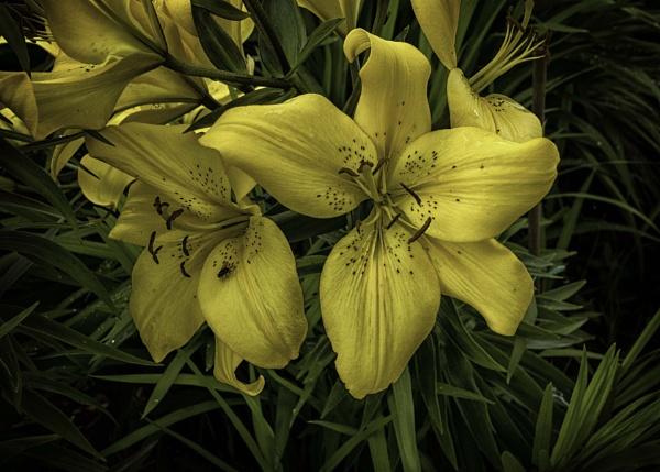 Mellow Yellow by BillRookery