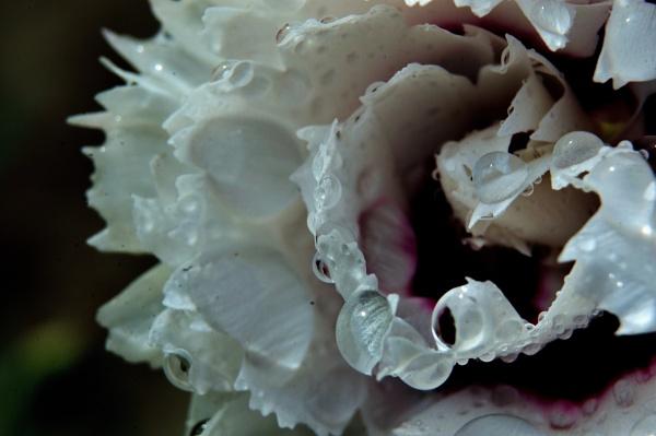 Carnation by WilliamEdward