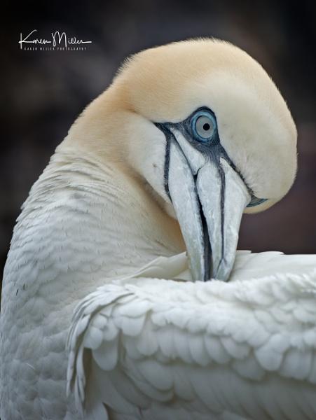 Gannet grooming by kfjmiller