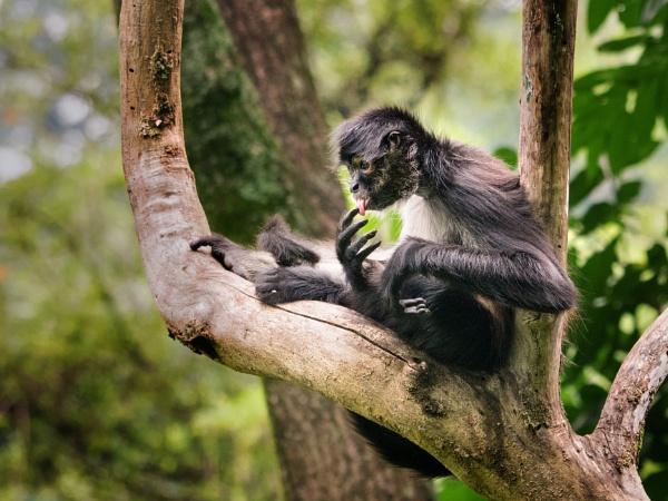 Spider monkey by tom_earwaker