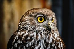 Auzzie Owl