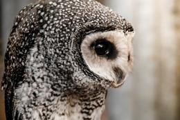 Owl bokeh