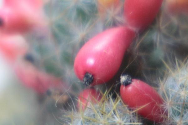 cactus fruits by DiegoCueto75