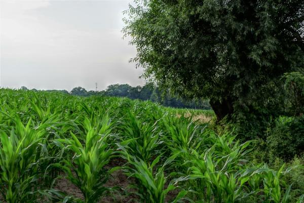 Corn Tree by PentaxBro