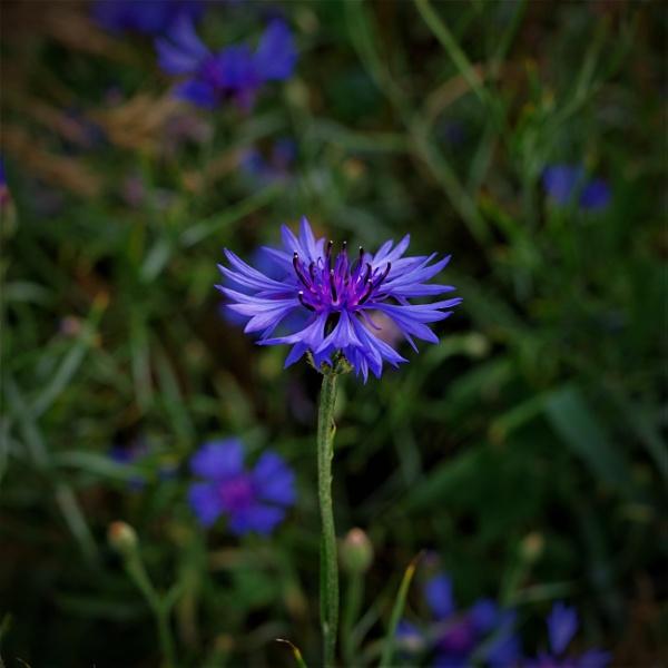 Blue Cornflower  by PentaxBro