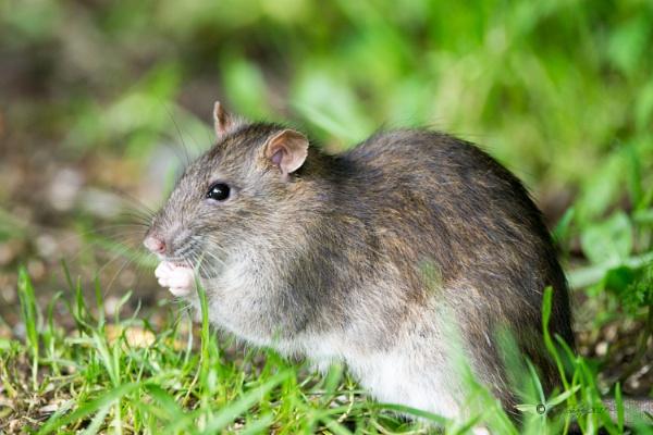 Brown rat. by razer