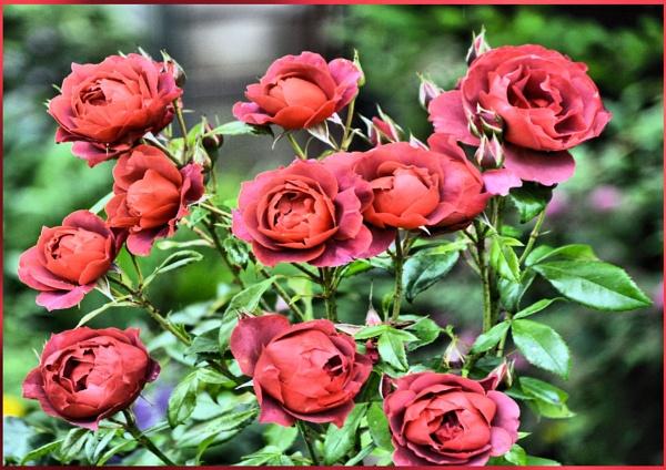 ** Ten Red Rose * by Rock