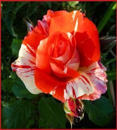 Delightful garden Rose