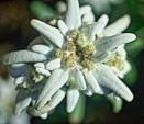 Edelweiss. by Kezz