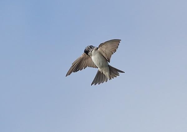 House Martins Preening in Flight by NeilSchofield