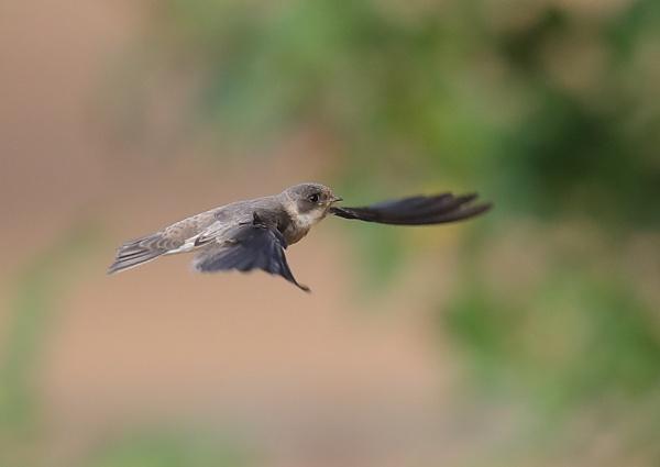 Sandmartins in Flight by NeilSchofield