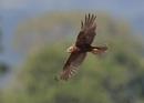 Female Marsh Harrier by NeilSchofield