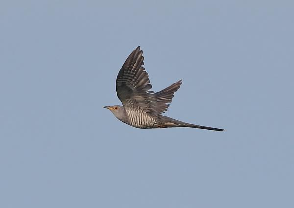 Cuckoo in Flight Sequence by NeilSchofield