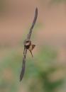 Sand Martin in Flight by NeilSchofield