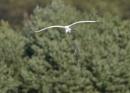 Great Egret Bombing Run by NeilSchofield