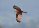 Female Marsh Harrier in Flight by NeilSchofield