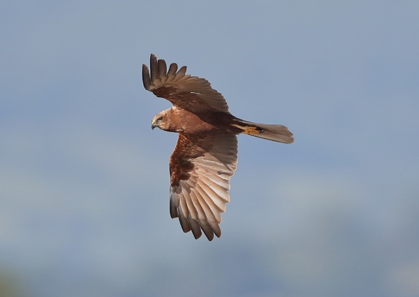 Female Marsh Harrier in Flight by NeilSchofield