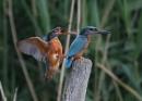 Kingfisher Shove by NeilSchofield