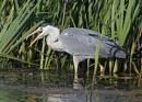 Heron with Catch by NeilSchofield