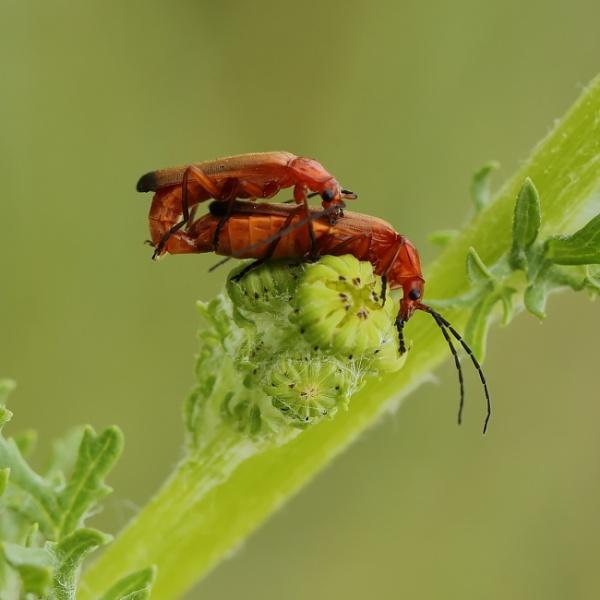 Solder Beetles by colin beeley