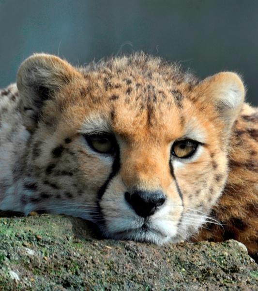 Cheatah Cub by peterthowe