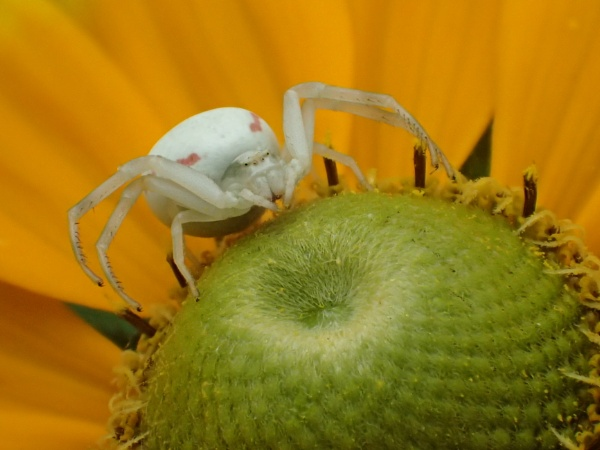Crab Spider by nclark