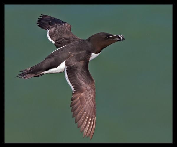 Razorbill in flight by mjparmy