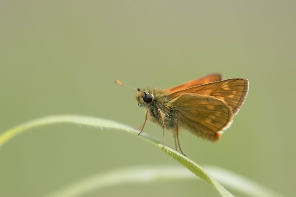 Skipper on Blade of Grass by Alfies_Girl
