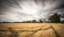Summer Barley by ianrobinson