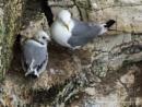 Kittiwake and Chick II by Alan_Baseley