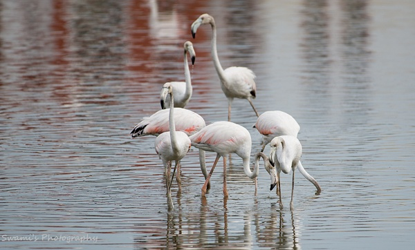 Flamingos by swami1969